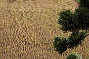 Goncalves_MG, Brasil...Agricultura em Goncalves...Agriculture in Goncalves...Foto: LEO DRUMOND / NITRO.....