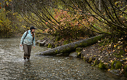 Rachel Wheat, a graduate student at the University of California Santa Cruz, searches for salmon carcasses on the banks of the man-made spawning channel of Herman Creek, near Haines, Alaska.<br /> <br /> Wheat is collecting DNA samples of bears from bear saliva left on salmon carcasses as part of research for her doctoral dissertation. She hopes to determine if partially-consumed salmon carcasses can serve as a viable source for bear DNA to genotype individuals. She also looking to determine a minimum population estimate for the number of bears using the Chilkoot Valley and the ratio of males to females, particularly in light of increase human presence. <br /> <br /> The bear DNA collection is part of her dissertation which looks at how the availability of salmon affects eagle movement, bear activity, and subsistence fishermen. EDITORS NOTE: Images of Wheat capturing bald eagles for the bald eagle portion of her study are available here: http://denglerimages.photoshelter.com/gallery/Bald-eagle-research-Chilkat-River-eagle-migration-study/G0000GTyPvah7eiQ/<br /> <br /> During late fall, bald eagles congregate along the Chilkat River to feed on salmon. This gathering of bald eagles in the Alaska Chilkat Bald Eagle Preserve is believed to be one of the largest gatherings of bald eagles in the world.