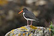 Oystercatcher, Haematopus ostralegus, on coastal rocks, Sutherland, Highland.<br /> animal; animals; bird; birds; wader; waders; nature; wildlife; <br /> one; single; lone; alone; stood; standing; look; looking; watch;<br /> watching; adult; alert; black; red; rock; coast;