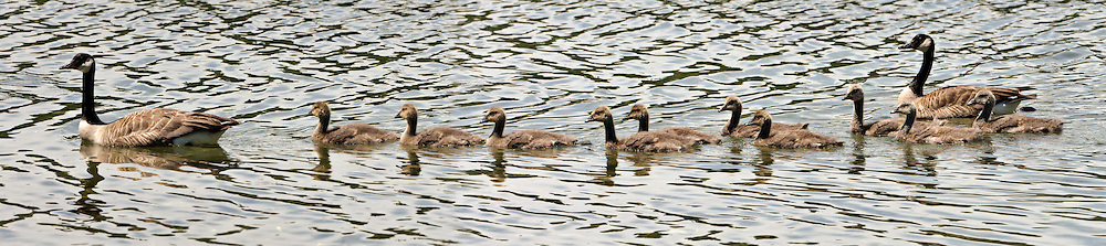 A Canada Goose (Branta canadensis) family of two adults and ten goslings swims as a group in Seabeck Bay of the Hood Canal in Puget Sound, Washington state. USA. panorama
