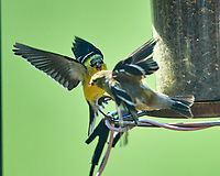 American Goldfinch fighting. Image taken with a Nikon D5 camera and 600 mm f/4 VR lens (ISO 360, 600 mm, f/4, 1/1250 sec).