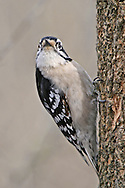 A Bird, The Downy Woodpecker, Striking A Curious Pose, Picoides pubescens