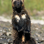 Wolverine in the Rocky Mountains of southwest Montana. Captive Animal
