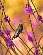 Green Violet-Ear Hummingbird, Colibri thalassinus, Monteverde, Costa Rica