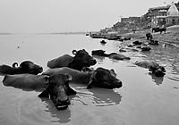 """Benares (Varanasi) Indie, 10.1997.   Najbardziej znane na swiecie indyjskie miasto-1,5 mln mieszkancow. Jest najwazniejszym miejscem pielgrzymkowym w Indiach i zarazem najwieksza atrakcja turystyczna kraju. Miasto lezy nad Gangesem (Ganga) swieta rzeka hinduizmu. Kazdy wyznawca hiduizmu przynajmniej raz w zyciu pownien obmyc cialo w wodach Gangesu w Benares, stad mozna powiedziec, ze jest to najwazniejsze miasto dla wyznawcow hinduizmu *** Varanasi, also known as Benares, is a city on the banks of the river Ganges in Uttar Pradesh, India. In the sacred geography of India Varanasi is known as the """"microcosm of India"""". Varanasi is considered as the religious capital of Hinduism *** N/z swiete krowy szukajace ochlody w Gangesie fot Michal Kosc / AGENCJA WSCHOD"""