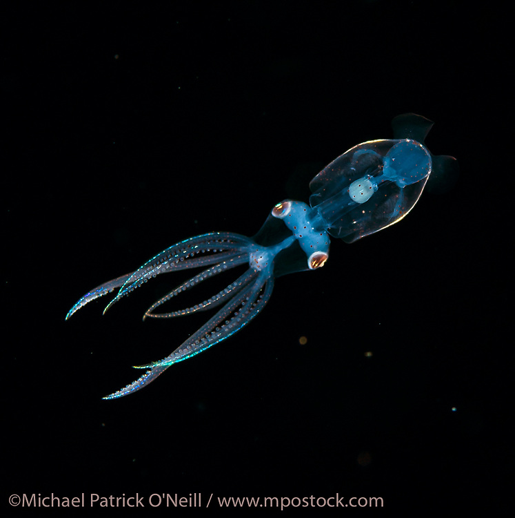 An unidentified pelagic squid larvae drifts in the Gulf Stream current offshore Palm Beach, Florida, United States during a blackwater dive late in the evening.