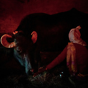 A woman milking her buffalo under red light. In the Himalaya.