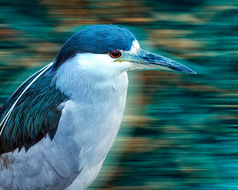 The Black-crowned Night Heron, commonly abbreviated to just Night Heron in Eurasia, is a medium-sized heron found throughout a large part of the world, except in the coldest regions and Australasia