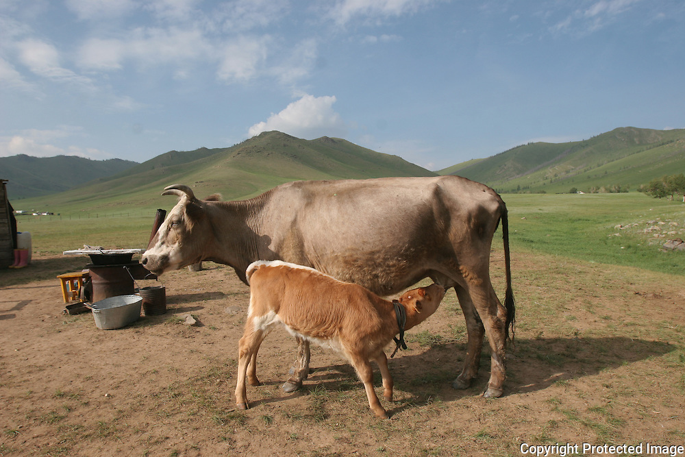 Nomadic culture is still pervasive throughout Mongolia. Here, Tserma who is 65 years old tends to her cows, sheep and goats with the help of her nieces and nephew. When winter comes Tserma packs up her 2 Gers, leaves her cows and goats with a friend and heads into the hills seeking shelter from the harsh Mongolian winter. Even since her husband passed 7 years ago, Tserma still lives nomadically.