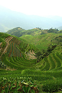Rice fields in terrace following a hilly landscape in the area of Ping'an. Guangxi, China, Asia