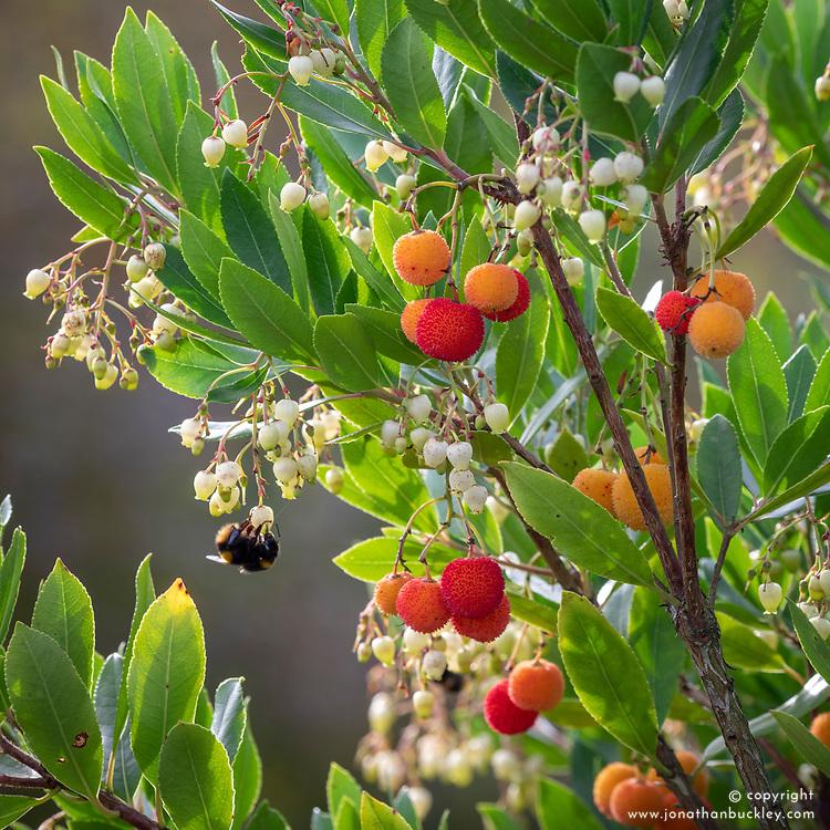 Bee on Arbutus unedo - Strawberry tree, Dalmatian strawberry <br /> Killarney strawberry, Cane apple
