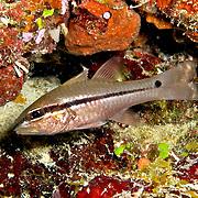 Narrowstripe Cardinalfish inhabit reefs. Picture taken Fiji 2013.