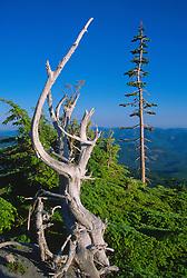 Standing Dead Tree, Mt. St. Helens National Volcanic Monument, Washington, US