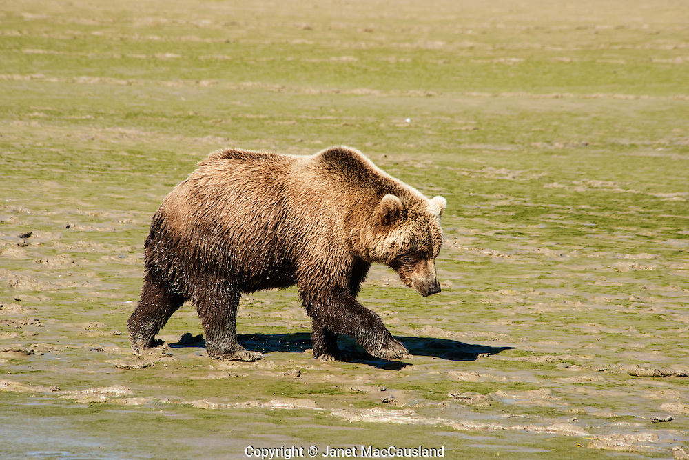 This Brown Bear female is too polite to look me in the eye. That would be considered a challenge toward me, and she only wanted to pass by unhindered. It would be ashamed to allow hunting in areas such as this where they have become used to humans just watching.
