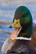A male mallard duck (Anas platyrhynchos) opens its mouth to quack as it swims on a small pond in Magnuson Park, Seattle, Washington.