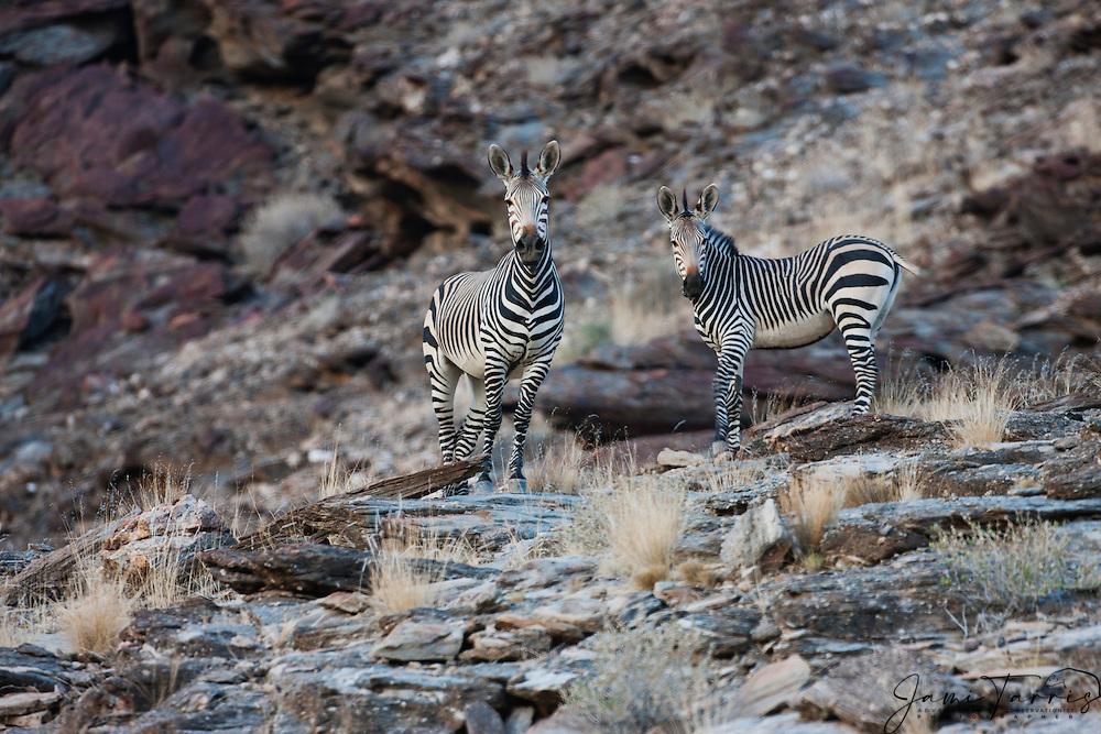 A dazzle of endangered Hartmann's mountain zebra (Equus zebra) climb effortlessly up a rocky mountain slope along Namibia's Skeleton Coast, Skeleton Coast, Namibia,Africa
