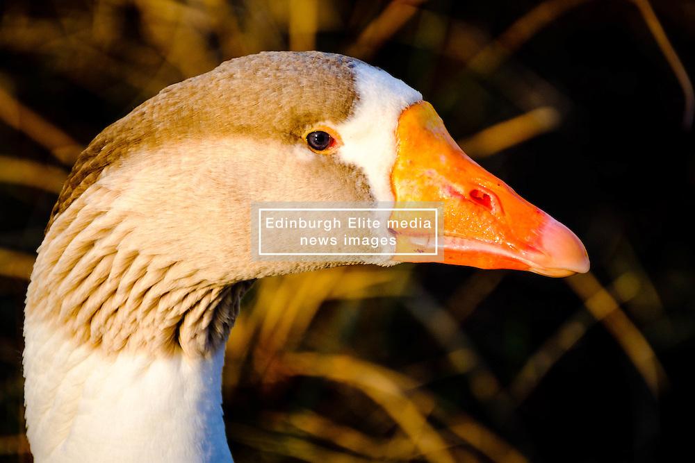 Geese on the island of Great Cumbrae off the west coast of Scotland<br /> <br /> (c) Andrew Wilson | Edinburgh Elite media