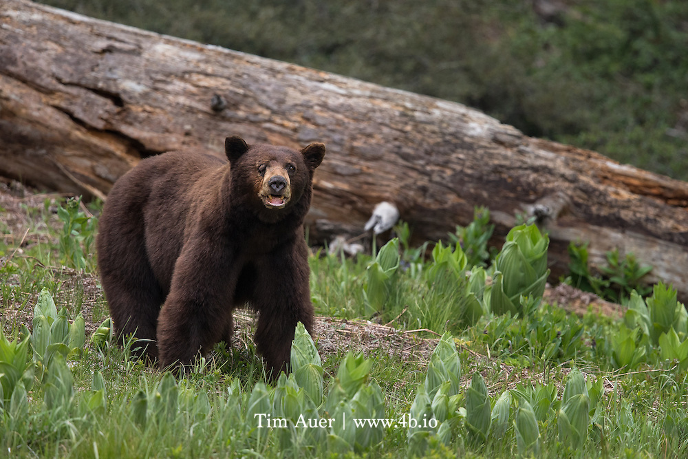 One Eyed black bear in Sequoia NP
