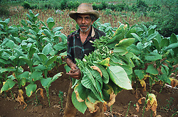 Tobacco farmer standing in field of tobacco plants holding a bundle of tobacco leaves near to Vinales; Pinar Province; Cuba,