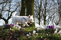 © Licensed to London News Pictures . 27/02/2014 . Buile Hill Park , Salford , UK .  Jason Woodward (43 from Salford) walking his family of West Highland Terriers through hundreds of freshly sprung crocus bulbs in the park . Glorious spring sunshine in Buile Hill Park this afternoon (Thursday 27th February 2014) as weather is predicted to take a colder turn . Photo credit : Joel Goodman/LNP