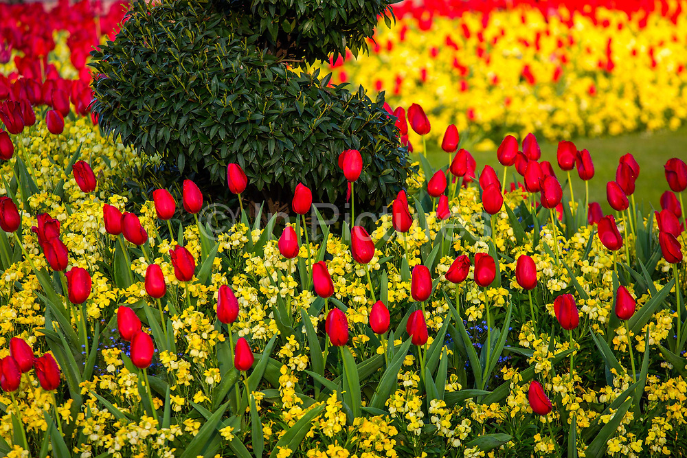 Tulip gardens bloom in front of Buckingham Palace on 16th April 2020 in London, United Kingdom. Normally crowded with people London is like a ghost town as workers stay home under lockdown during the Coronavirus pandemic.