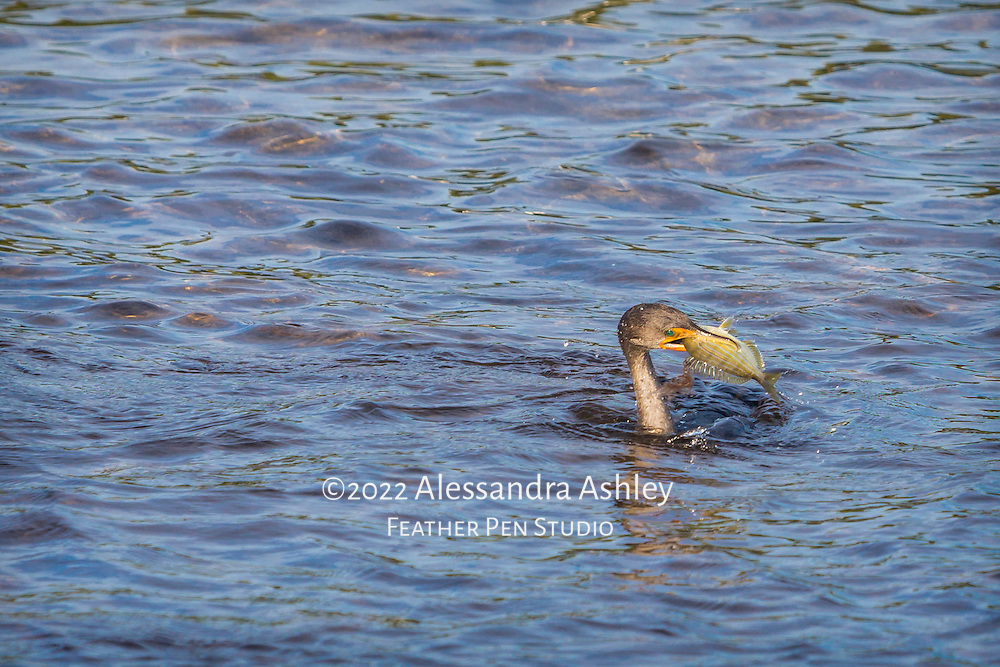 Double crested cormorant swims in shallows with freshly caught breakfast in bill. Ding Darling NWR, southwest Florida.