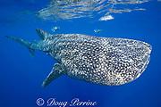 whale shark ( Rhincodon typus ) and snorkelers, Kona Coast of Hawaii Island ( the Big Island ) Hawaiian Islands, USA ( Central Pacific Ocean ) MR 359
