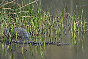 American alligators hide in marsh grass looking for prey at the Donnelley Wildlife Management Area March 11, 2017 in Green Pond, South Carolina. The preserve is part of the larger ACE Basin nature refugee, one of the largest undeveloped estuaries along the Atlantic Coast of the United States.