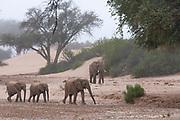 A breeding herd of desert elephants (Loxodonta africana cyclotis) walking through the Hoanib river bed,Skeleton Coast, Namibia