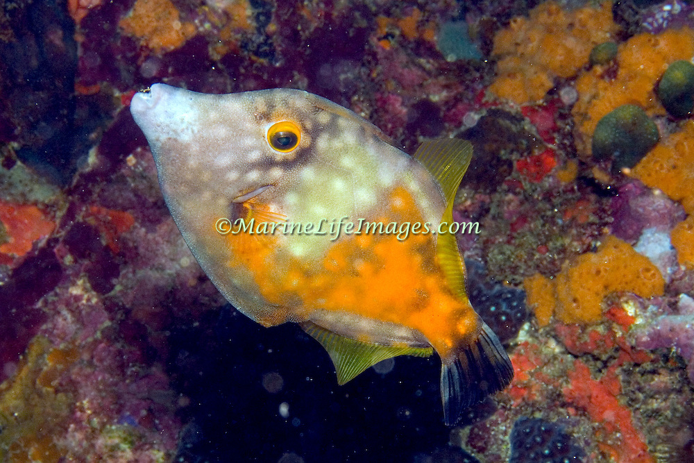 Whitespotted Filefish swim slowly over and around reefs in Tropical West Atlantic, often in pairs with one displaying white-spot pattern; picture taken Bequia, Grenadines.