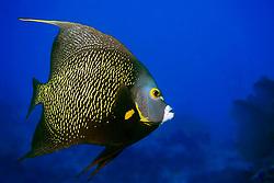 French angelfish, Pomacanthus paru, The Ridges, Islamorada, Florida Keys National Marine Sanctuary, Atlantic Ocean