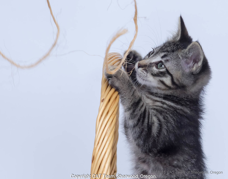 Young black striped kitten playing with string