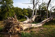 fallen tree in the Wahner Heath, Cologne, North Rhine-Westphalia, Germany.<br /> <br /> gefallenere Baum in der Wahner Heide, Koeln, Nordrhein-Westfalen, Deutschland.