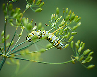 Black Swallowtail Caterpillar Feeding on a Dill Plant. Image taken with a Nikon 1 V3 camera and 70-300 mm VR lens