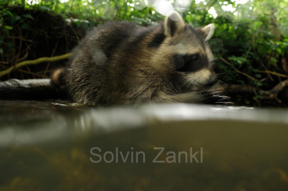 [captive] Raccoon (Procyon lotor)   Waschbär (Procyon lotor)