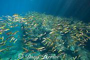 yellowfin goatfish or weke ula, Mulloidichthys vanicolensis,  Black Rock, West Maui, Hawaii, USA ( Central Pacific Ocean )