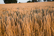 Close-up heads golden barley hanging stalks ready for harvesting, field foreground focus, Shottisham, Suffolk, England, UK