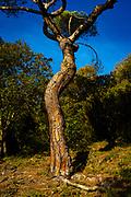 Mediterranean Pine, pinus pinea, Tibidabo, Barcelona