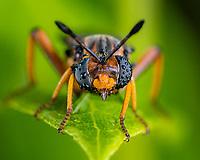 Mydas fly - Phyllomydas parvulus  after a night rain in Clermont, Florida USA