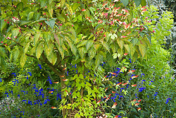 Ipomoea lobata syn. Mina lobata trained up a tree with Salvia patens 'Guanajuato'