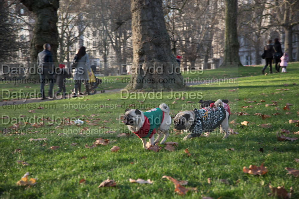 Pug Meetup, St. James's Park. 3 December 2016