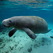 West Indian Manatee, (Trichechus manatus) Adult in freshwater spring. Florida.