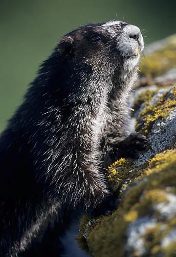 Hoary Marmot (Marmota caligata) in southeastern Alaska.