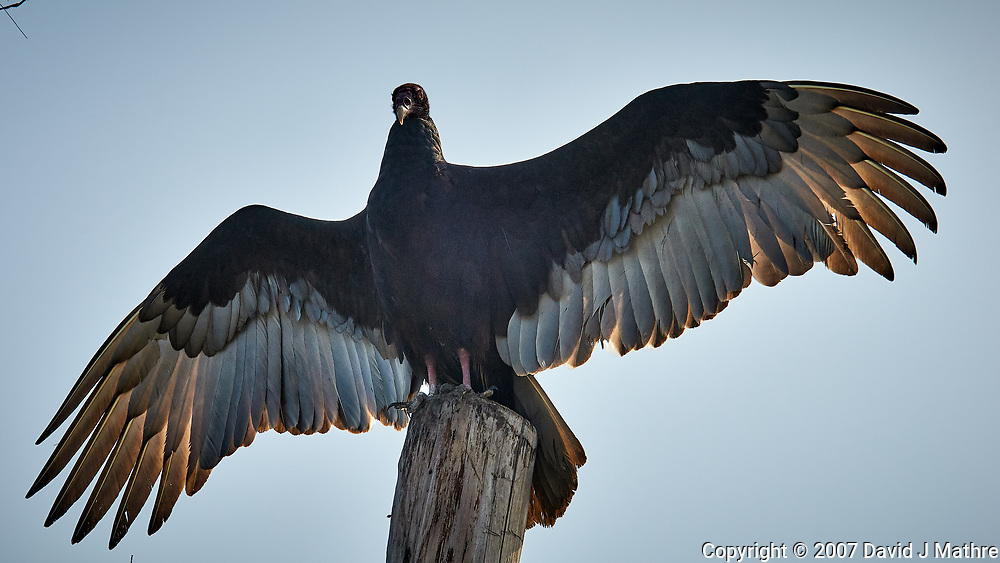 Turkey Vulture on a post at Fort De Soto park in Pinellas County, Florida. Image taken with a D300 camera and 200 mm f/2 VR lens with a TC-EII 2x teleconverter (ISO 200, 400 mm, f/11, 1/500 sec).