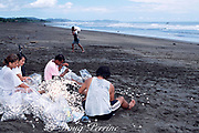 eggs of olive ridley sea turtles,Lepidochelys olivacea, are prepared and bagged for market in legal, controlled harvest during arribada or mass nesting, Playa Ostional, Costa Rica, Central America ( Eastern Pacific Ocean )