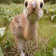Sandhill Crane, (Grus canadensis) Chick face close up to camera. Spring. Yellowstone National Park.