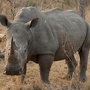 White rhino, Londolozi Game Reserve, Sabi Sand Game Reserve. South Africa