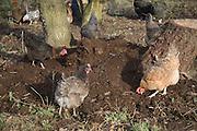 Free range hens pecking soil for food