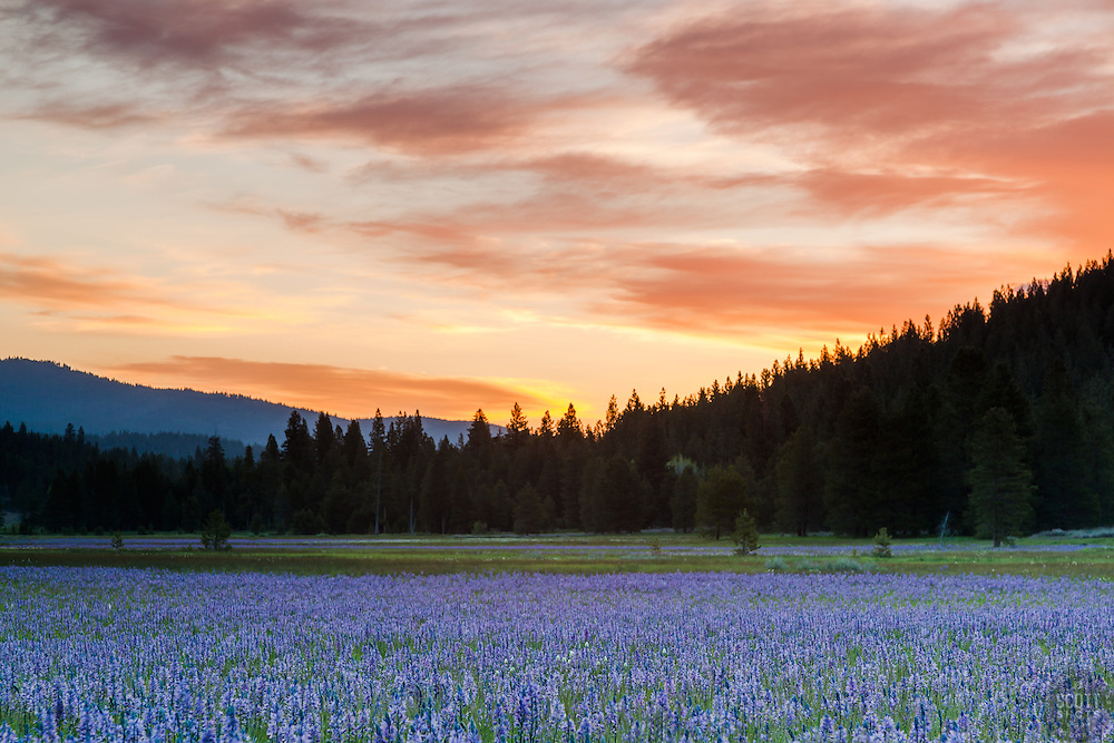"""""""Sagehen Meadows Sunrise 3"""" - These Camas wildflowers were photographed at sunrise in Sagehen Meadows, near Truckee, California."""