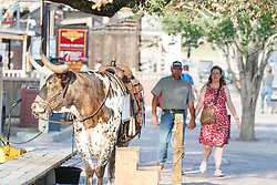 People walking past Texas longhorn  Fort Worth Stockyards National Historic District, Fort Worth, Texas, USA.